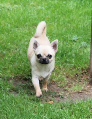 Mini Chihuahua Liebhabertier