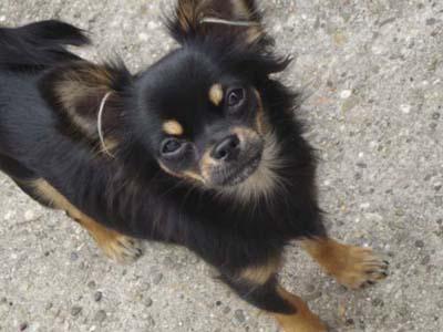 Chihuahuawelpen Aus Unserer Zucht Im Neuen Heim