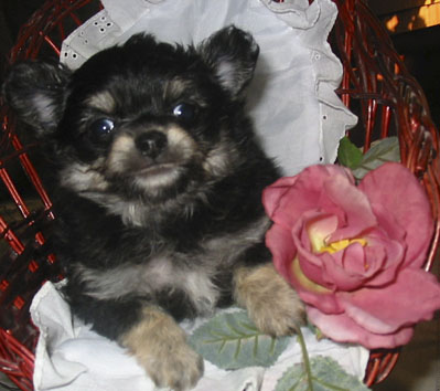 Chihuahua -Welpe in Black und Tan