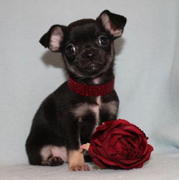 Chihuahua züchter nrw