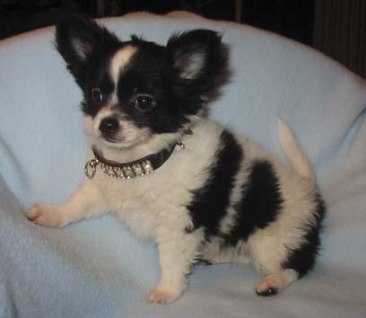 Chihuahua -Zucht vom Wichtelhof