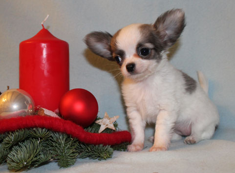 Mini Chihuahuawelpe aus unserer Chihuahuazucht